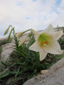 台灣百合 Wild Lillies